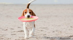beagle-on-beach-with-frisbee